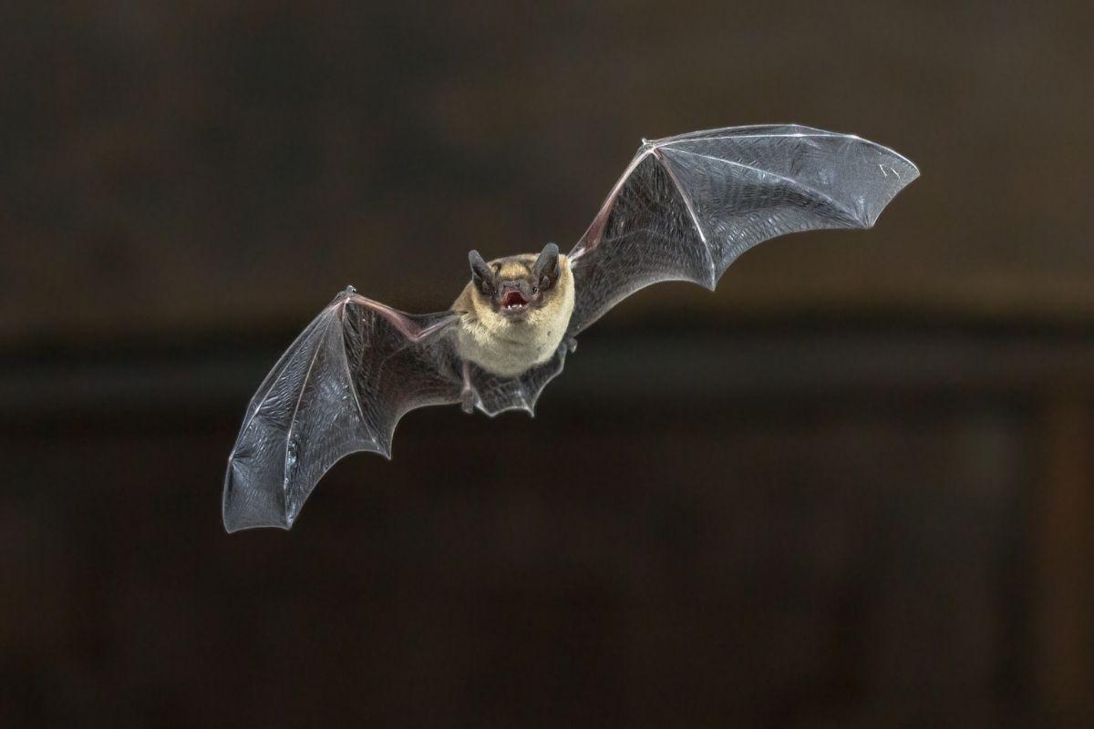 Halloween animals - bat