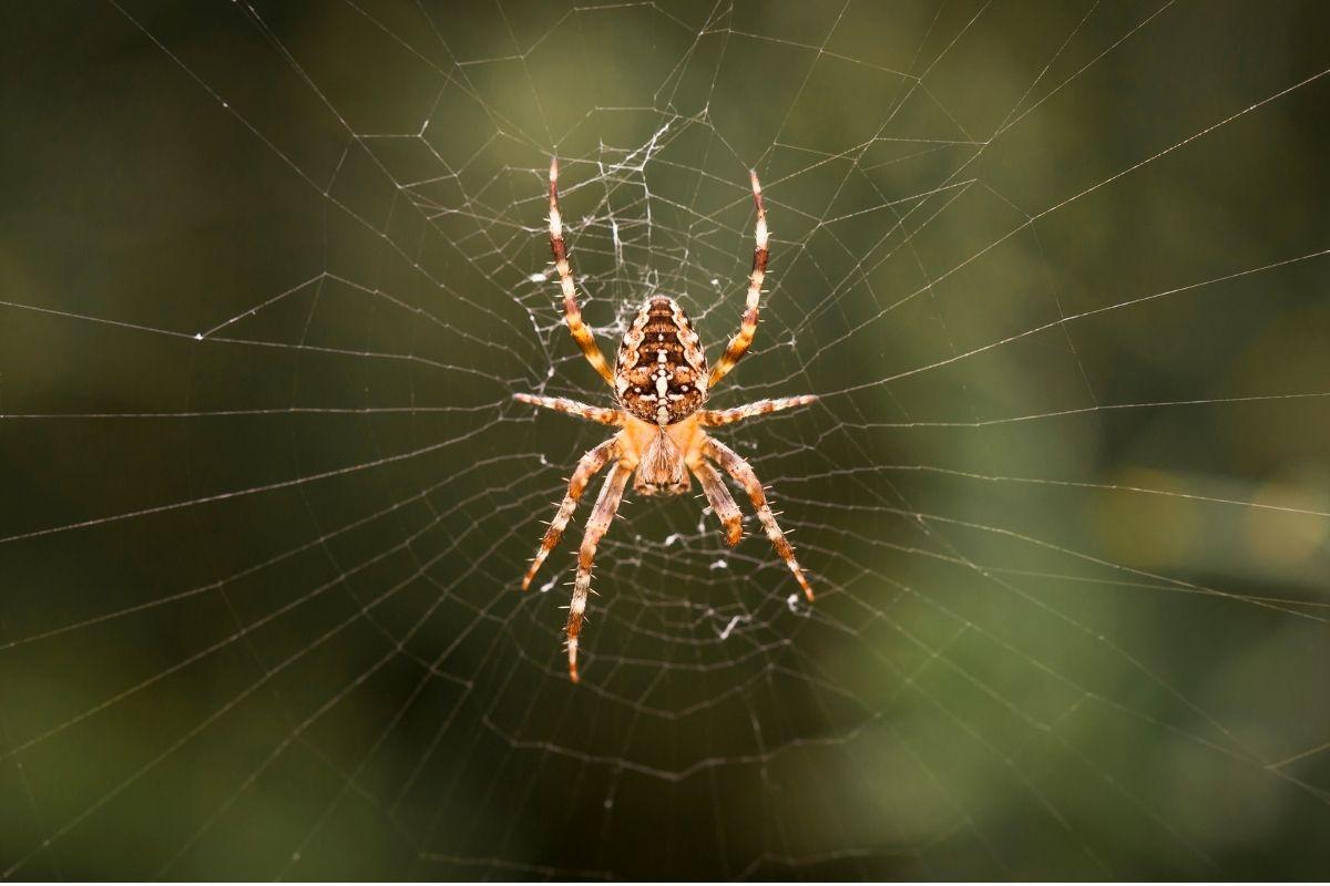 Halloween animals - spider
