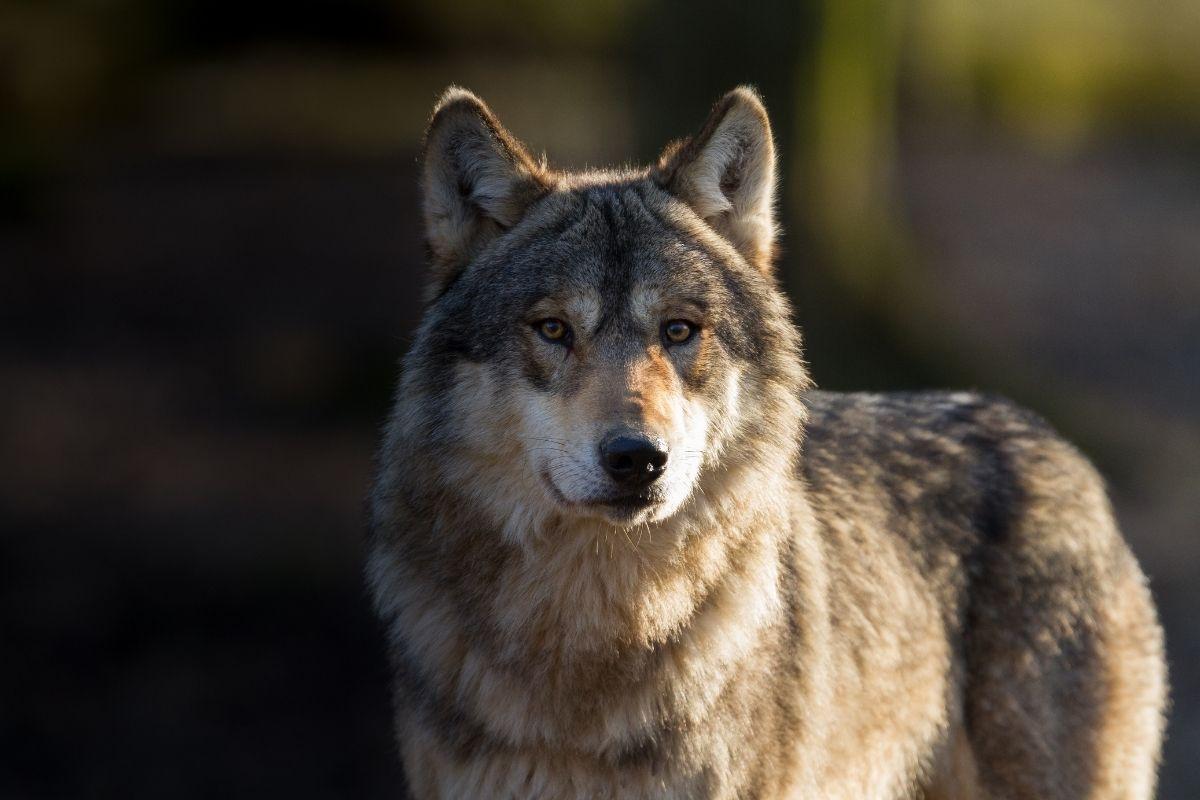 Halloween animals - wolf