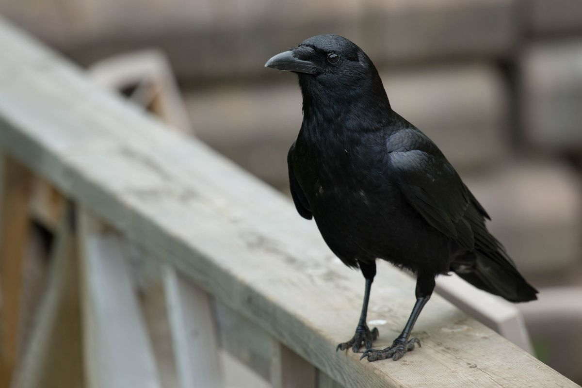 Halloween animals - crow