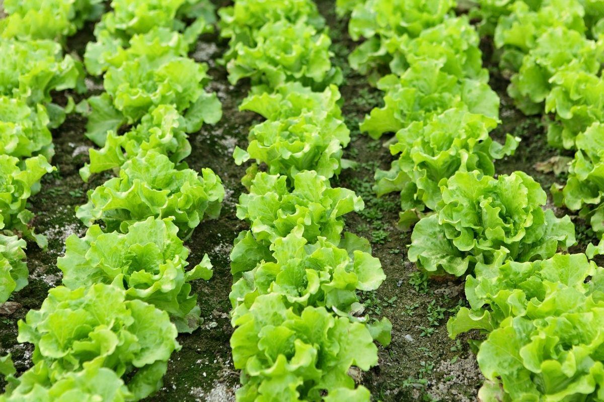 vegetables-7
